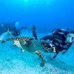 Cayman Island Turtle